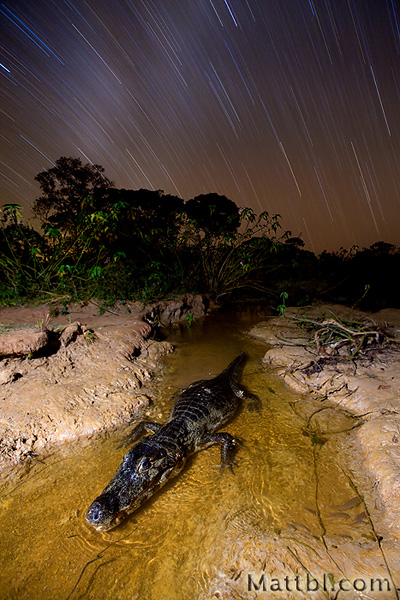 Caiman under the Stars