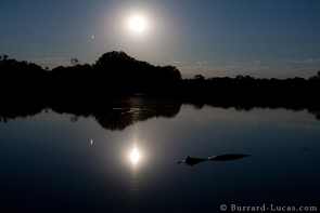 Caiman Silhouetted by the Moon