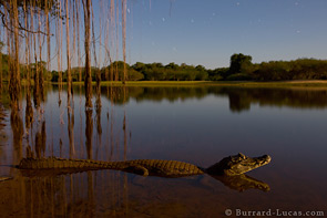Caiman at Night