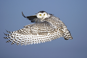 Snowy Owl in Flight © Brian Hansen