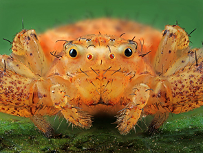 Brown Spider © Alexander