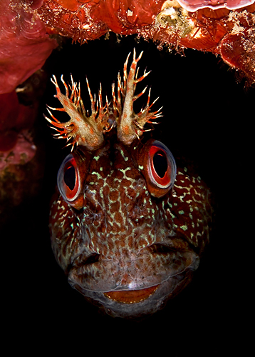 Tompot Blenny © Thomas Vignaud