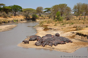 Hippos on the Katuma river.