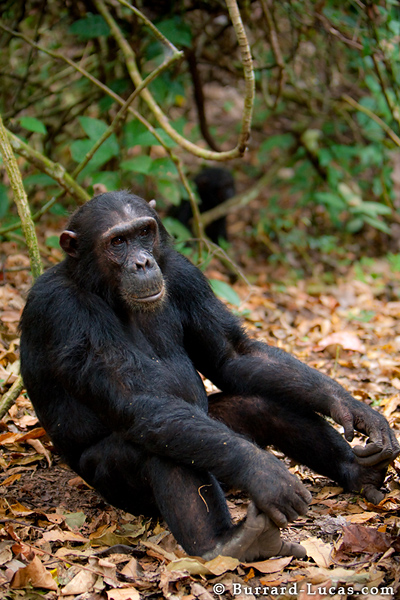 A young chimp sitting on the ground holding his feet.