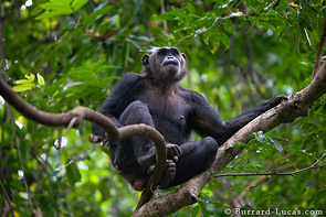 An old female chimpanzee sits in a tree.