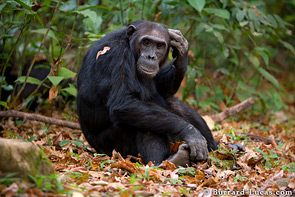 This old male chimp used to be alpha male before being overthrown and sent into exile for several years.
