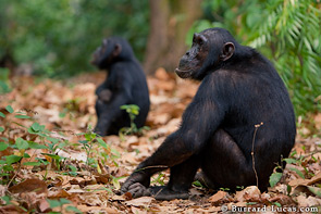 Two chimpanzees sit on the leafy jungle floor.