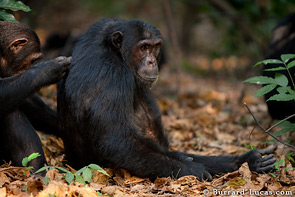 The chimps can often be seen grooming each other. It is an important part of building and maintaining relationships.