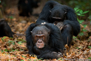 A senior male chimp being groomed.