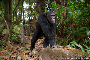A big male chimpanzee walks beside us on the path.
