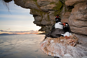 Rock shags at sunrise